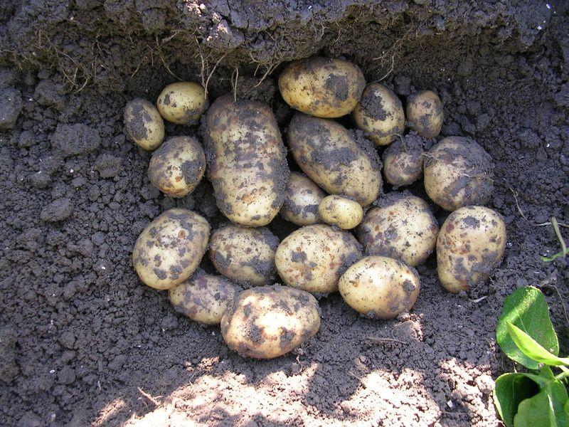 Gewasgroei aardappelen 2005