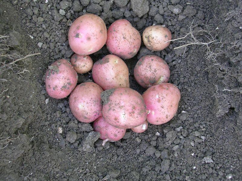 Gewasgroei aardappelen 2006