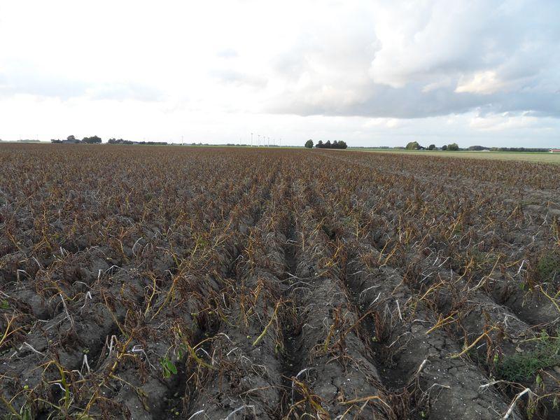 Gewasgroei aardappelen 2009