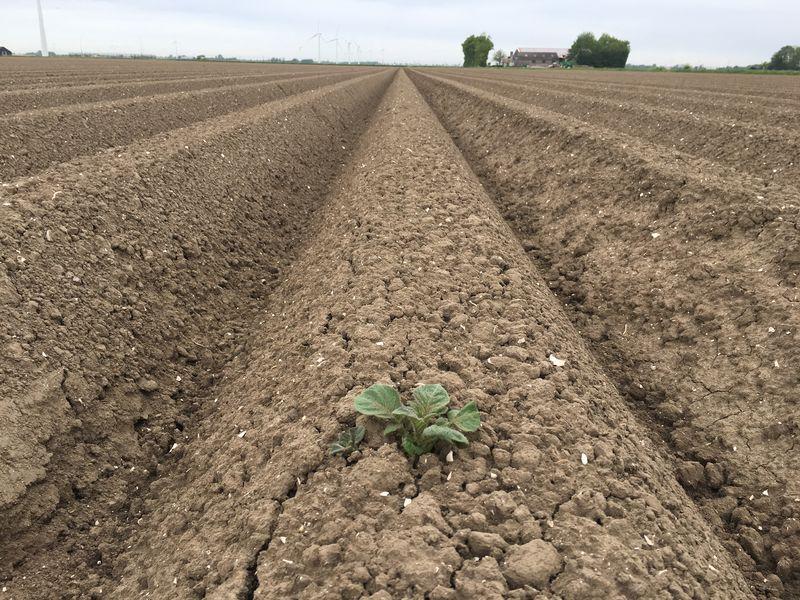 Gewasgroei 16 mei 2017; aardappelen ras is Eurostar