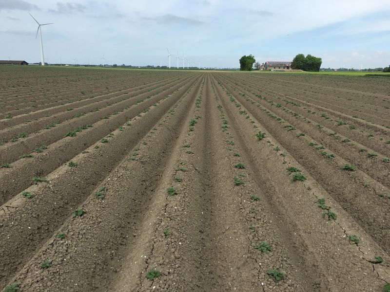 23 mei gewasgroei; aardappelen, ras is Eurostar