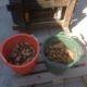 23 augustus 2015; 4e proefrooiing aardappelen