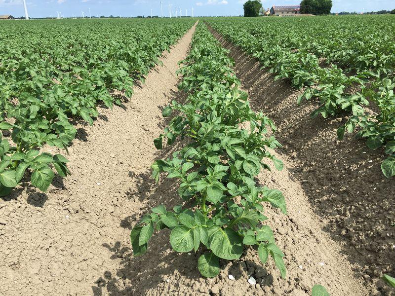 4 juni 2017; gewasgroei aardappelen ras Eurostar