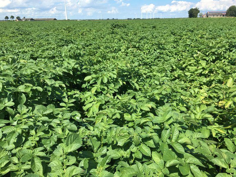 6 augustus 2017; gewasgroei aardappelen, ras is Eurostar