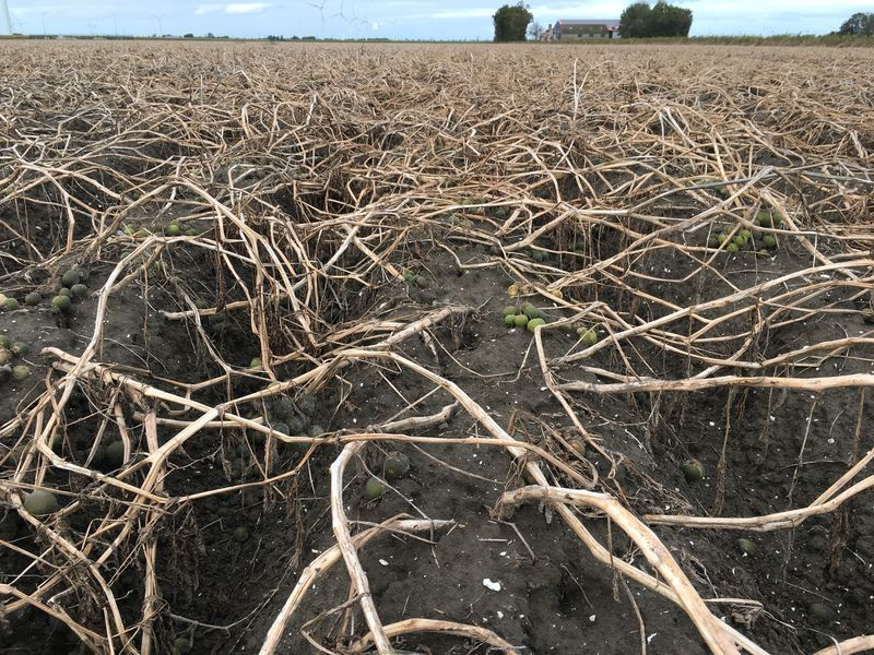 8 oktober 2017; gewasgroei aardappelen, ras is Eurostar