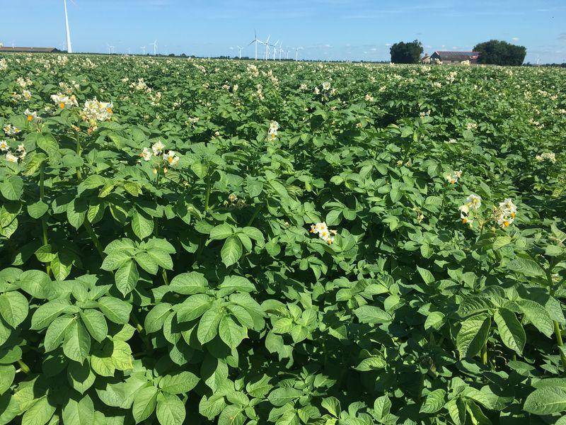 17 juli 2017; gewasgroei aardappelen, ras is Eurostar