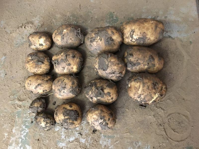30 juli 2017; gewasgroei aardappelen, ras is Eurostar
