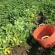 14 augustus 2017; eerste proefrooiing aardappelen