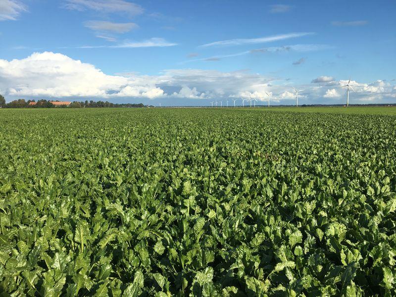 18 september 2017; gewasgroei suikerbieten, ras is BTS990