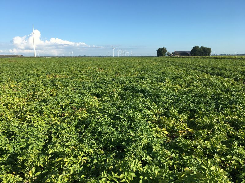 3 september 2017; gewasgroei aardappelen, ras is Eurostar