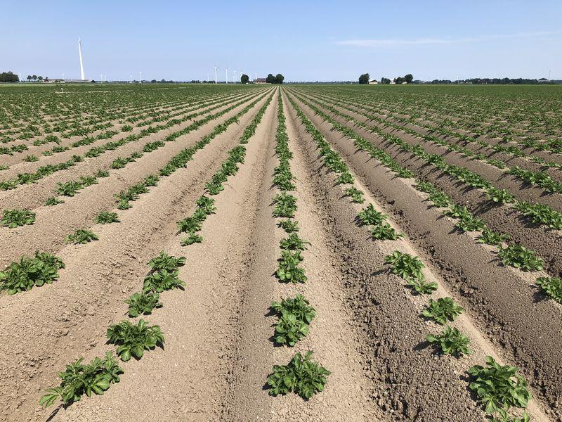 27 mei 2018; gewasgroei aardappelen ras is Innovator