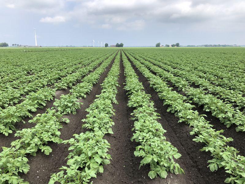 3 juni 2018; gewasgroei aardappelen ras is Innovator