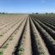 29 mei 2019; gewasgroei aardappelen; ras is Ramos