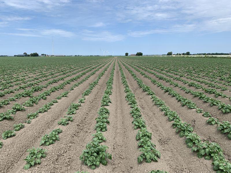 4 juni 2019; gewasgroei aardappelen; ras is Ramos