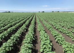 11 juni 2019; gewasgroei aardappelen; ras is Ramos