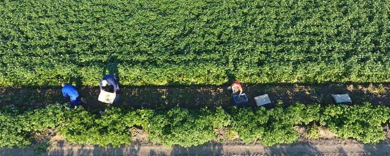 23 juli 2019; proefveld aardappelen RoyalZap rooien