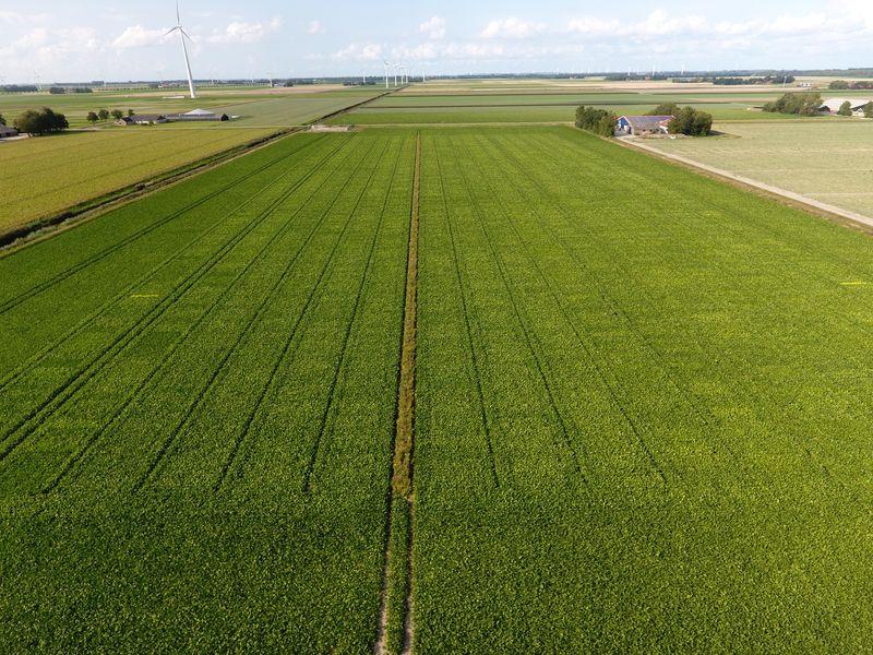 20 augustus 2019; gewasgroei suikerbieten; ras is BTS2345