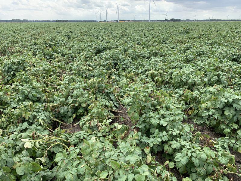 19 augustus 2019; 1e proefrooiing aardappelen, ras is Ramos.