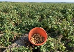 26 augustus 2019; 1e proefrooiing aardappelen, ras is Ramos.