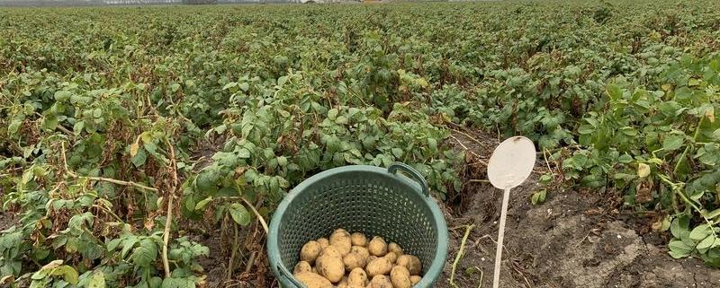 3 september 2019; 3e proefrooiing aardappelen