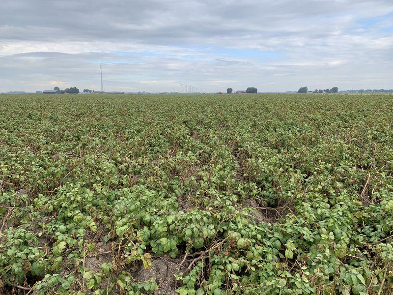 10 september 2019; gewasgroei aardappelen; ras is Ramos