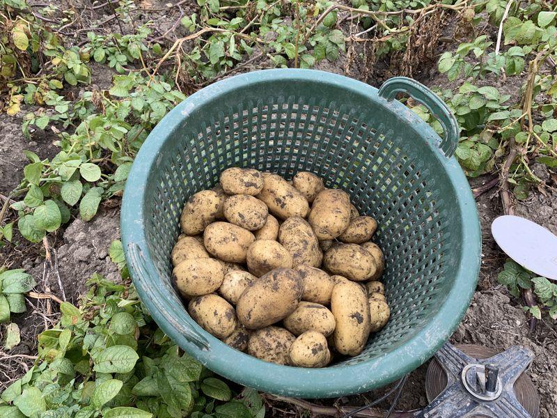 10 september 2019; 4e proefrooiing aardappelen