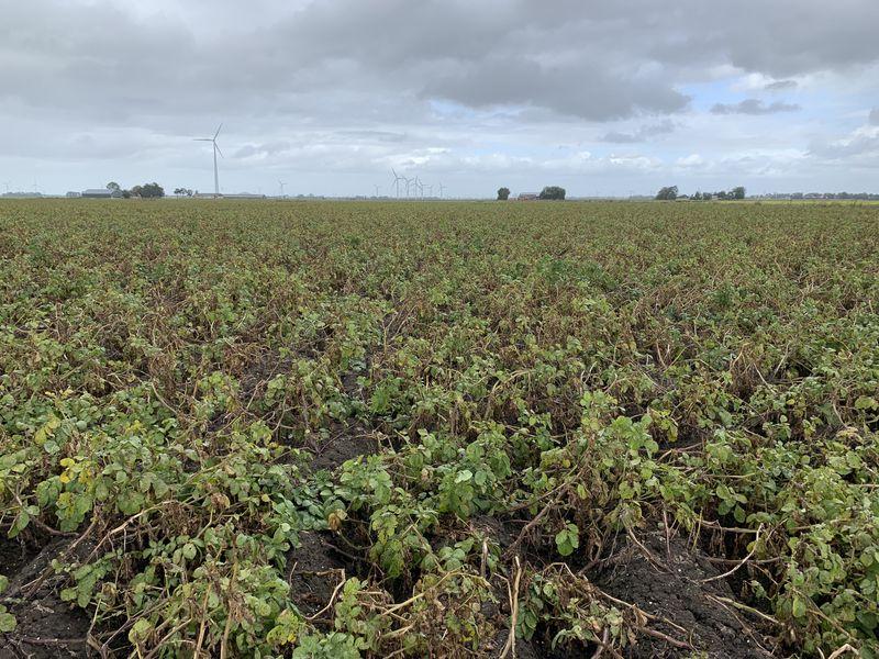 17 september 2019; gewasgroei aardappelen; ras is Ramos