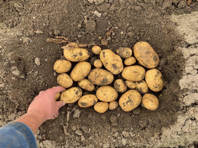 24 september 2019; gewasgroei aardappelen; ras is Ramos