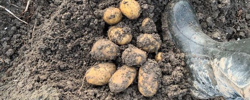 17 oktober 2019: aardappeloogst uitgesteld