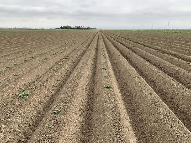 4 juni 2020; gewasgroei aardappelen, ras is Lady Anna