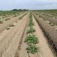 10 juni 2020; gewasgroei aardappelen, ras is Lady Anna
