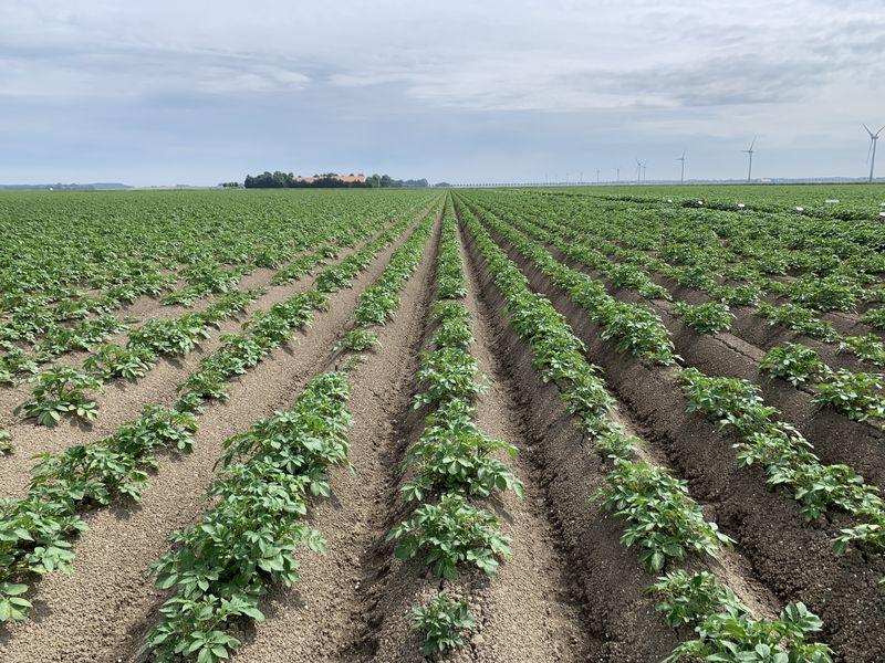 17 juni 2020; gewasgroei aardappelen, ras is Lady Anna