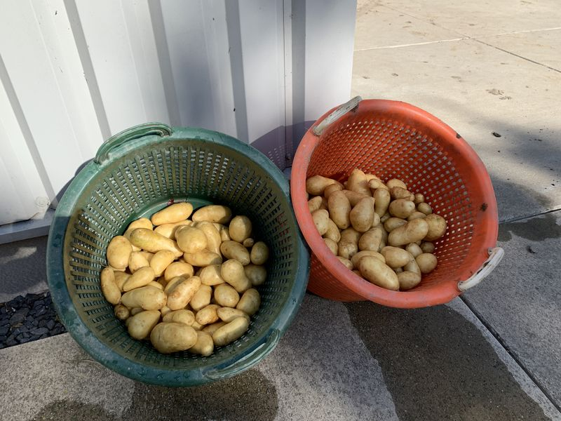 21 augustus 2020; 2e proefrooiing aardappelen