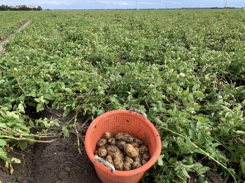 31 augustus 2020; 3e proefrooiing aardappelen