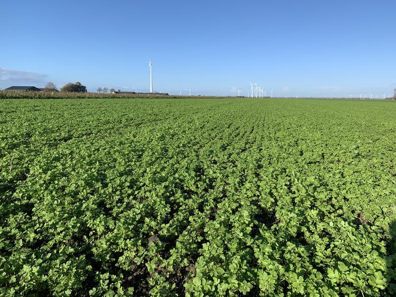 12 november 2020; gewasgroei groenbemester, gele mosterd, soja perceel