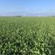 29 november 2020; gewasgroei groenbemester, haver, wikken en bladrammenas