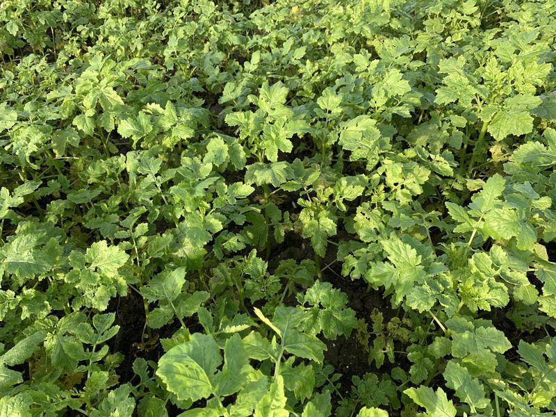16 december 2020; gewasgroei groenbemester, gele mosterd, soja perceel