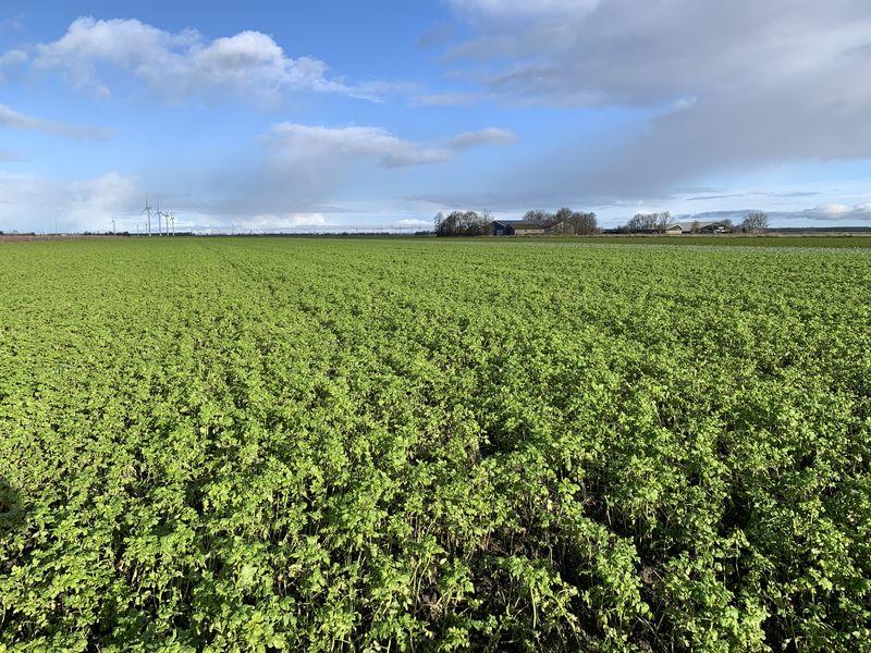25 januari 2021; gewasgroei groenbemester, gele mosterd, soja perceel