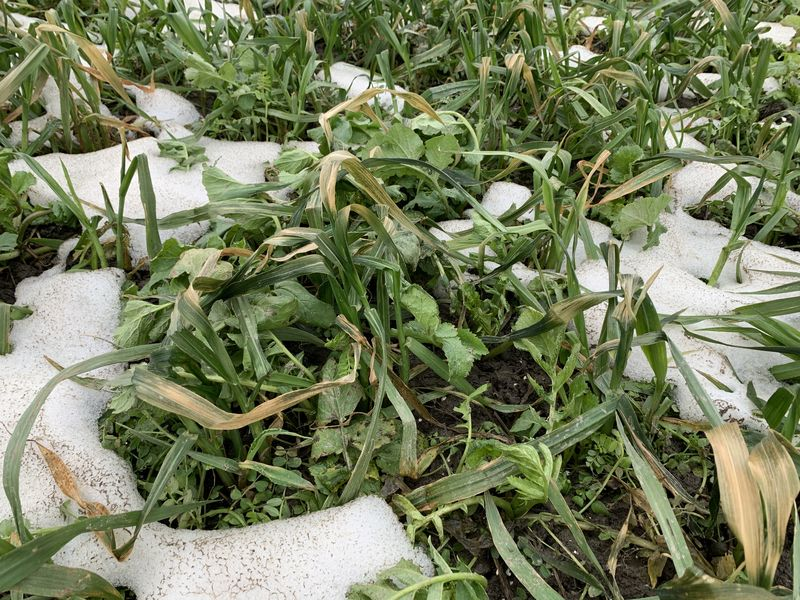 16 februari 2021; gewasgroei groenbemester, haver, wikken en bladrammenas