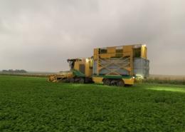 15 juli 2021; oogst peterselie eerste snede