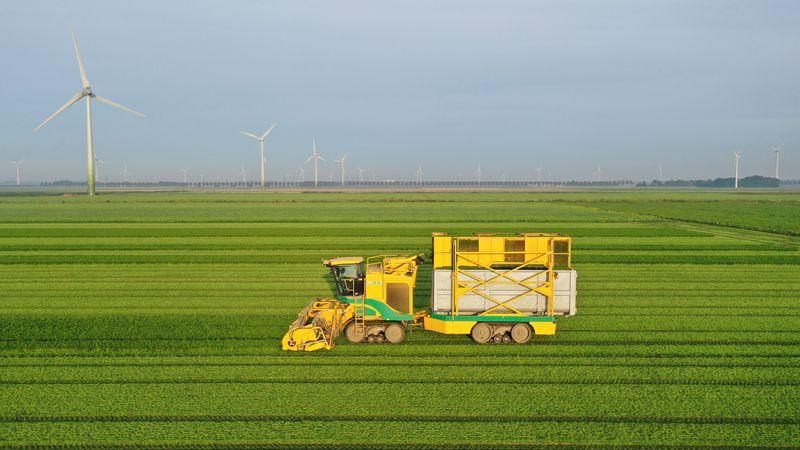 13 augustus 2021; tweede oogst peterselie
