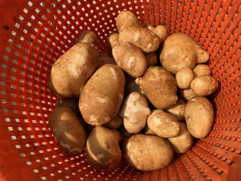 25 augustus 2021; 2e proefrooiing Innovator aardappelen