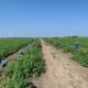 4 augustus 2021; 1e oogst aardappelproefveld Royal Zap/Semagri