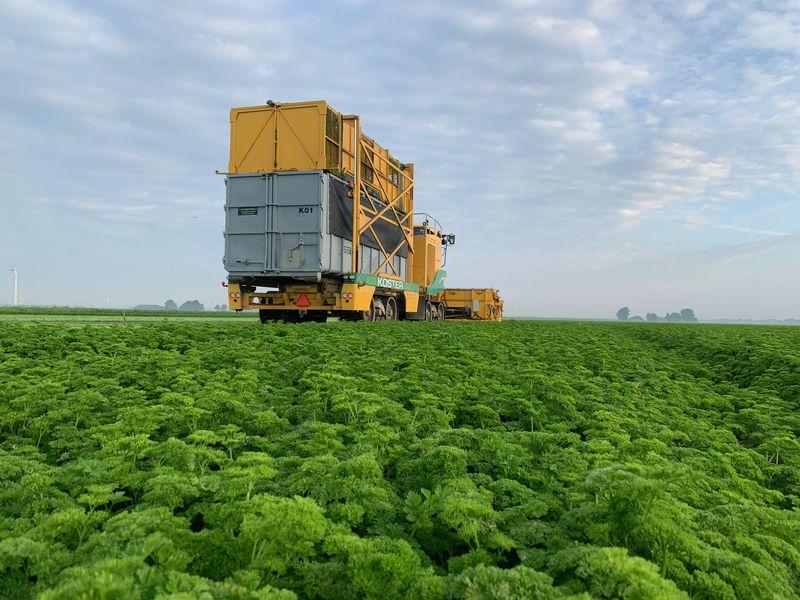 7 september 2021; peterselie oogst 3e snede