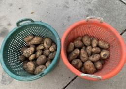 16 september 2021; derde proefrooiing aardappelen
